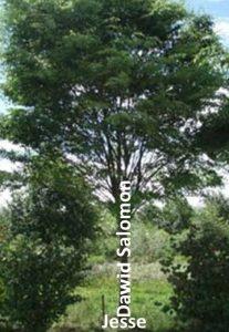 Obraz drzewa, który użył Izajasz do przedstawienia Dynastii